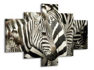 Mládě zebry