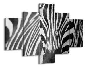 Zebra zblízka