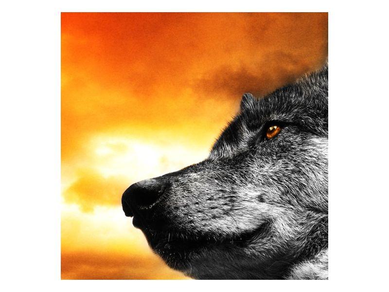 Moudrý pohled vlka