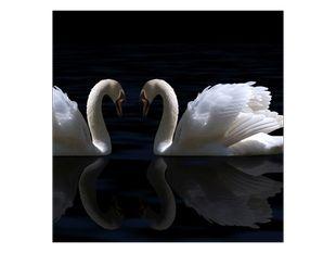 Láska dvou labutí