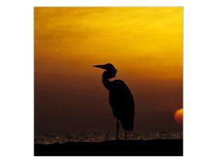 Volavka při západu slunce