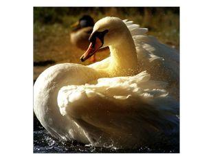 Bílá labuť v řece
