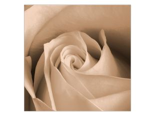 Pučící růže