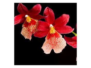 Vášnivé orchideje