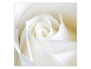 Nevinnost růže