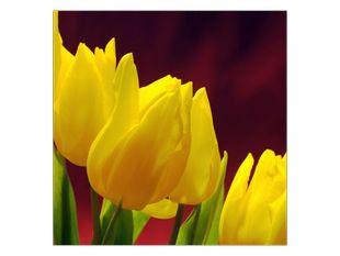Záhon žlutých tulipánů