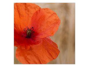 Mákový květ