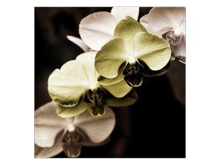 Motýlí orchidej