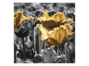 Střapaté žluté tulipány
