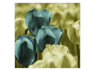 Tři tulipány