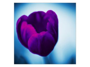 Tulipán ve fialové