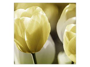 Krémová kvítka tulipánů