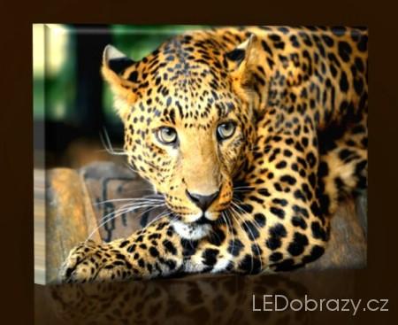 LED obraz Gepard 45x30